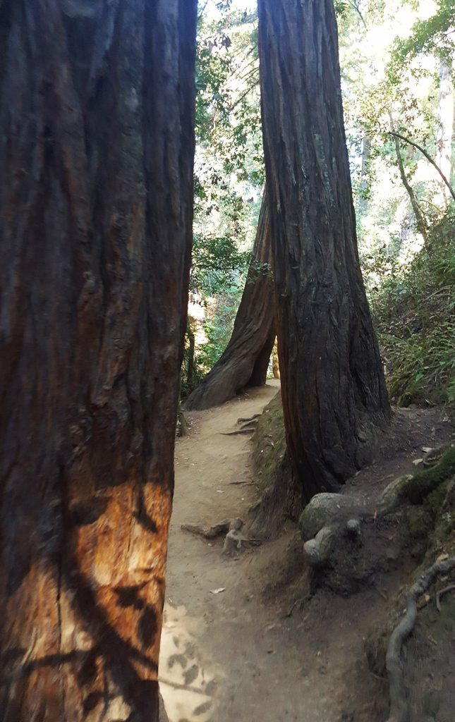 Redwood trees on the Hillside trail in Muir Woods National Monument