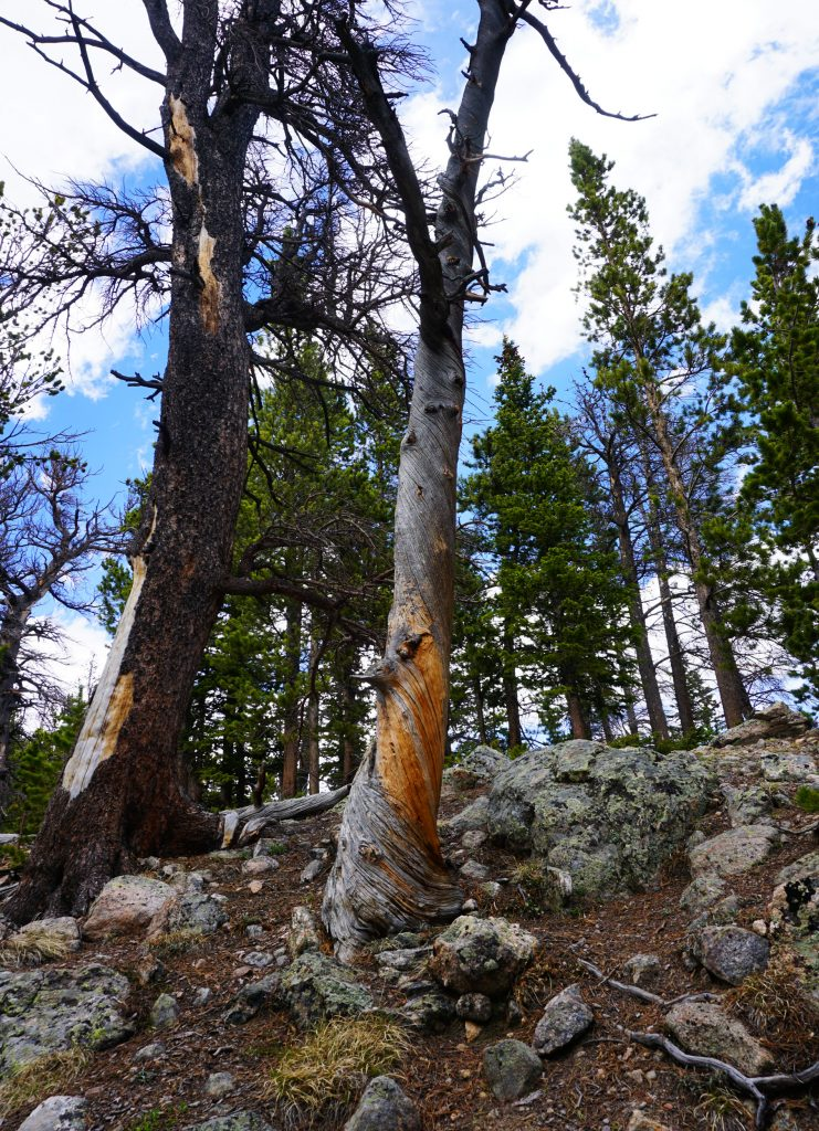 Twisted tree near Nymph Lake in Rocky Mountain National Park