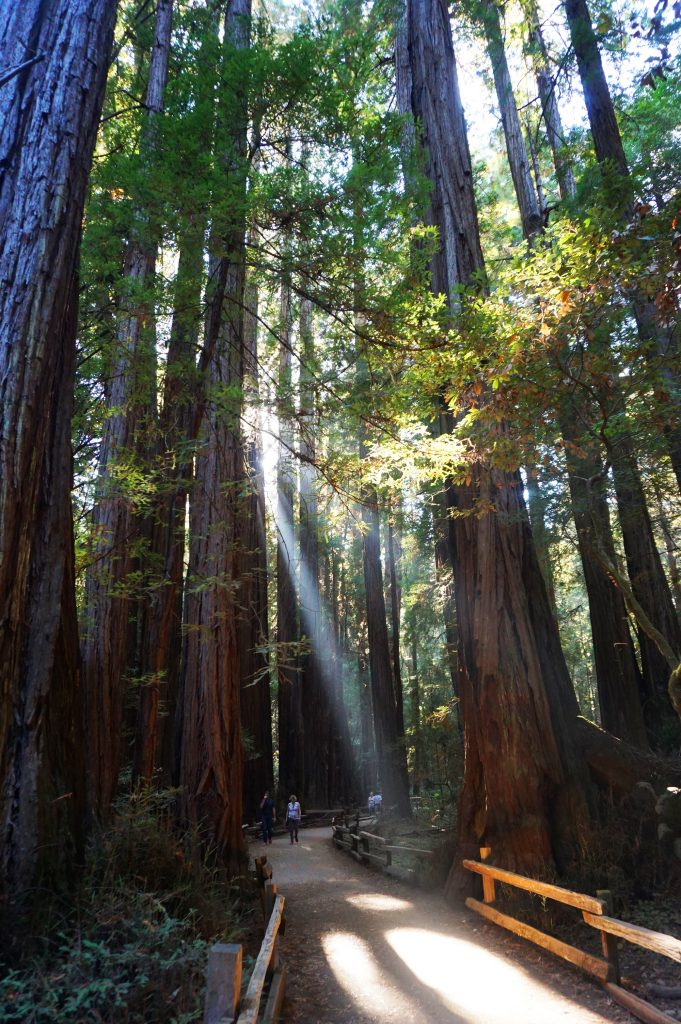 Redwood trees in Cathedral Grove in Muir Woods National Monument