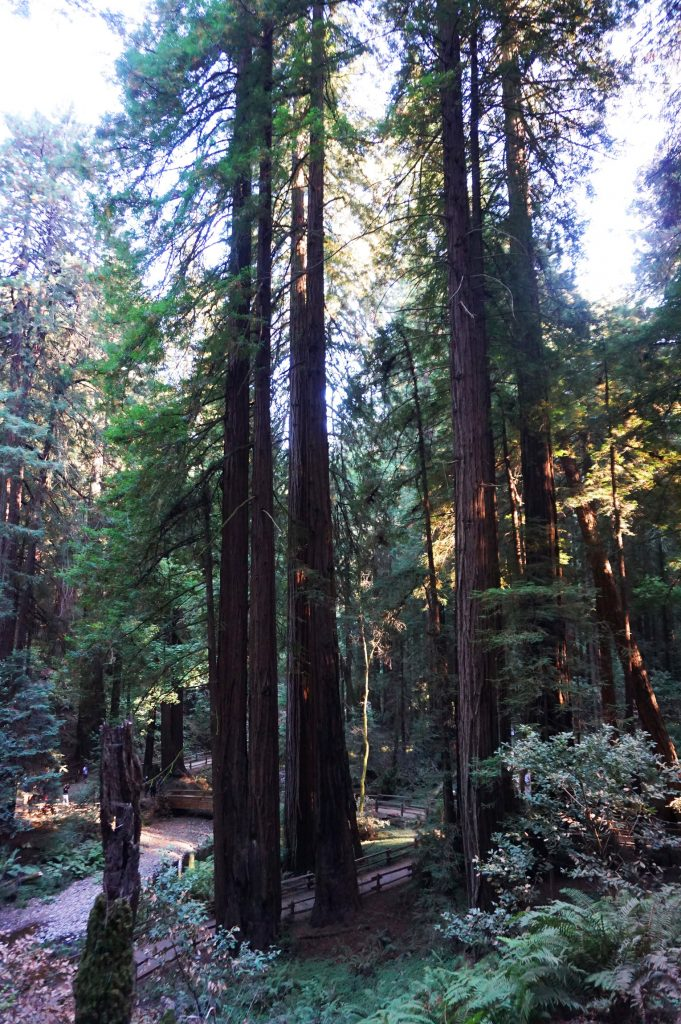 Redwood trees in Muir Woods National Monument