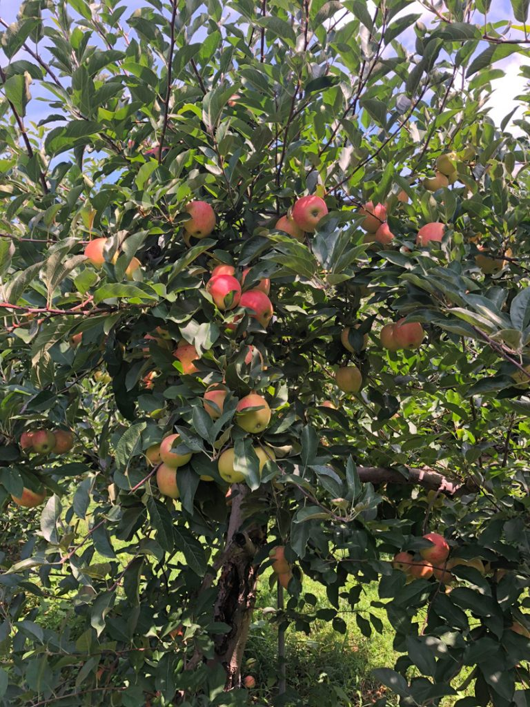 Apples on a tree at a Connecticut orchard