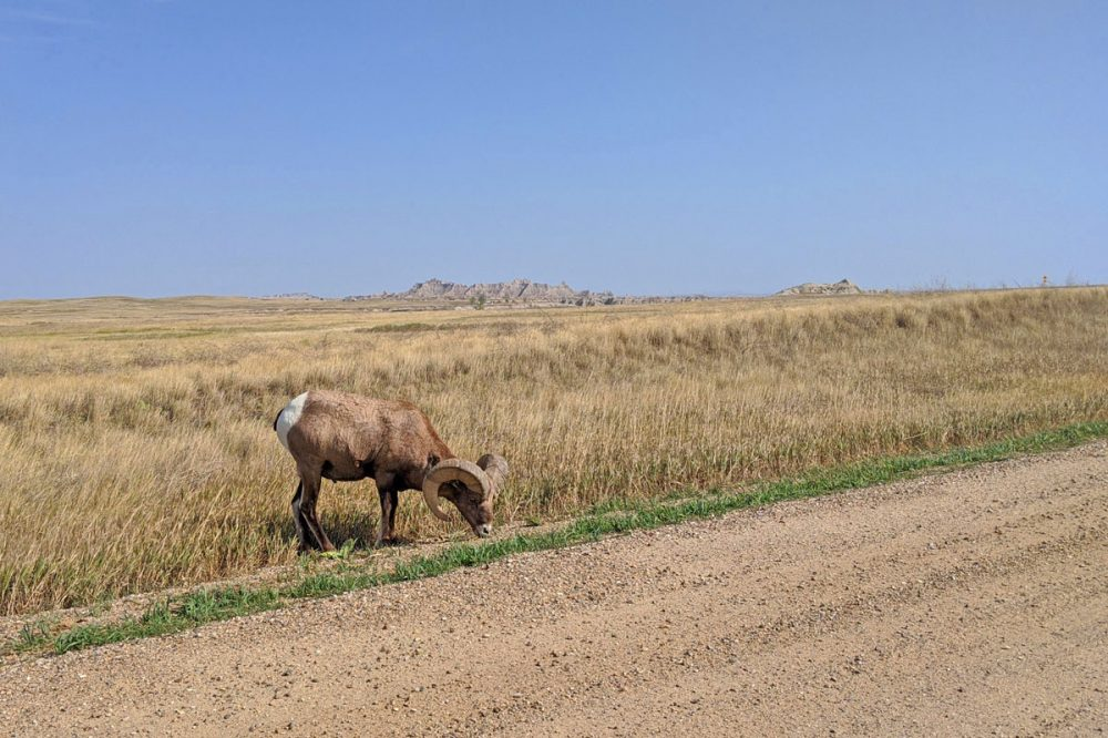 Bighorn sheep grazing in Badlands National Park