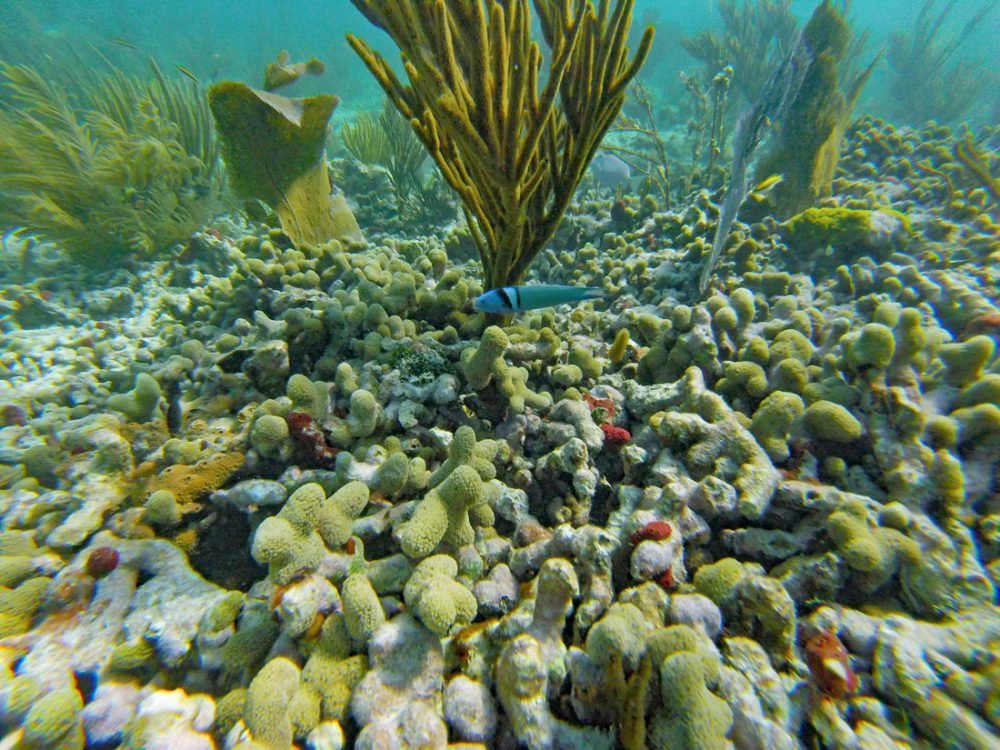 Colorful blue fish swimming along a coral reef on a Biscayne National Park snorkeling tour