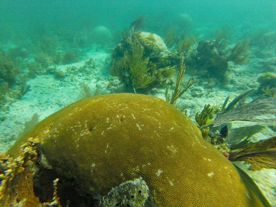 Brain coral in Biscayne National Park