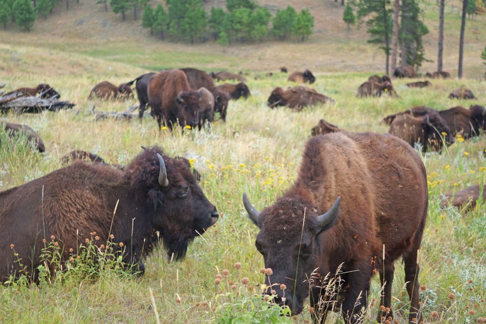 Herd of buffalo along the Custer State Park Wildlife Loop