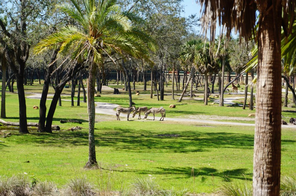 Animals grazing right outside our Animal Kingdom Lodge savannah view room at Disney World