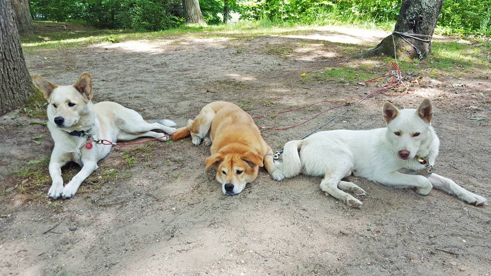 Three dogs laying in dirt on a campsite.