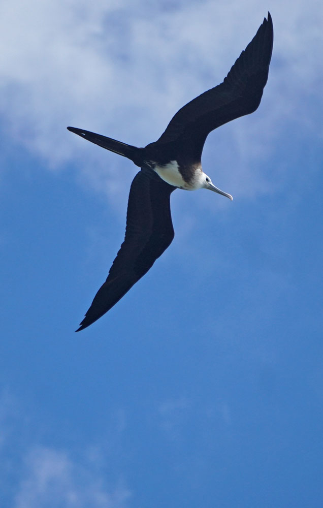 Large frigate bird with wings spread against a blue sky background