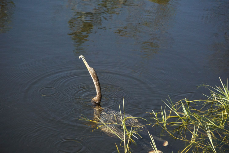 Anhinga eating a fish in the Everglades