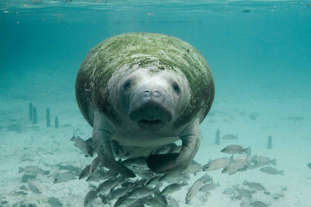 Manatee swimming with fish