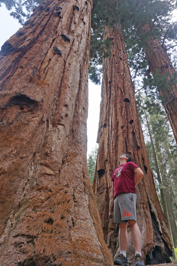 Man looking up at a sequoia tree in Sequoia National Park