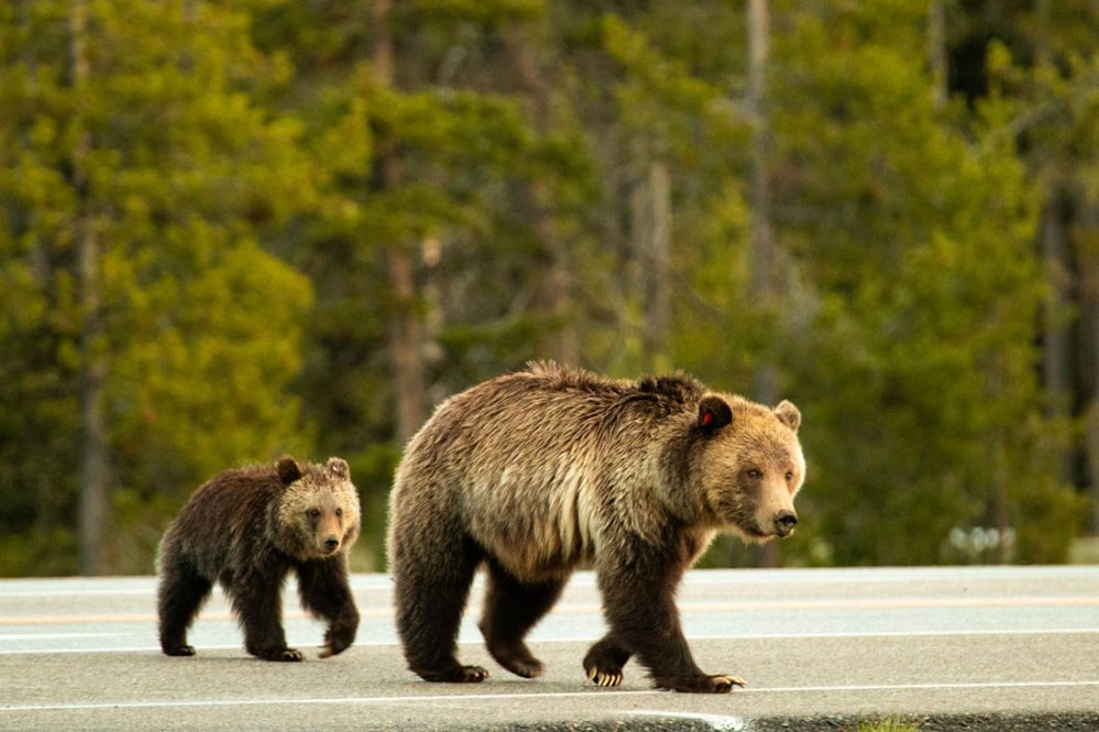 Mother grizzly bear and her cub crossing a paved road with pine trees in the background