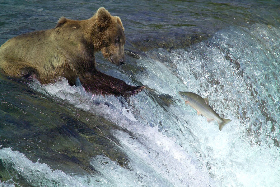 Grizzly bear catching salmon in Katmai National Park
