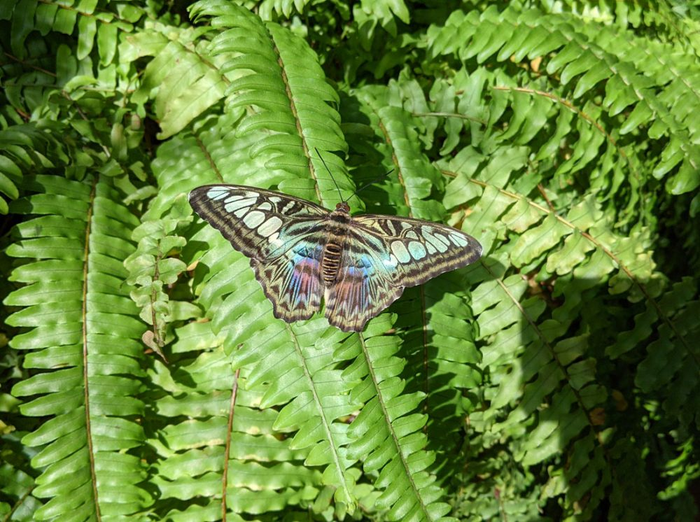Photo of a black and iridescent butterfly with its wings spread as it sits atop green ferns