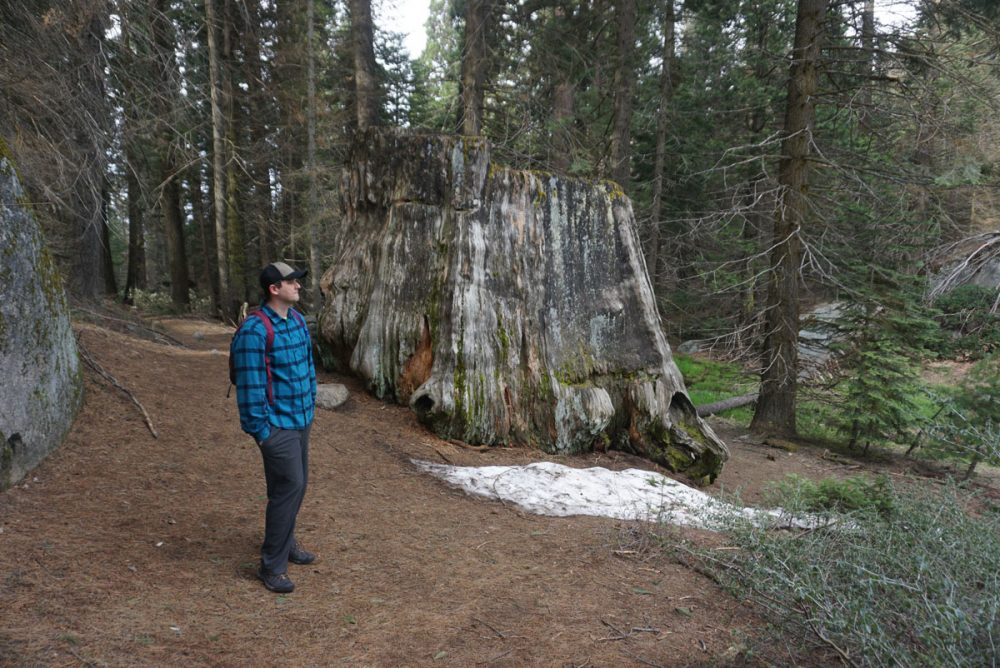 Man standing next to a massive sequoia stump on the Big Stump trail in Kings Canyon National Park