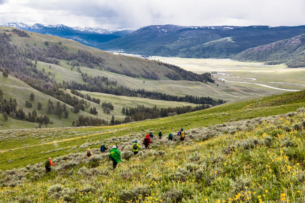 Hikers walk across a rolling meadow with knee high grass and yellow wildflowers and the winding curves of the Lamar River in the background