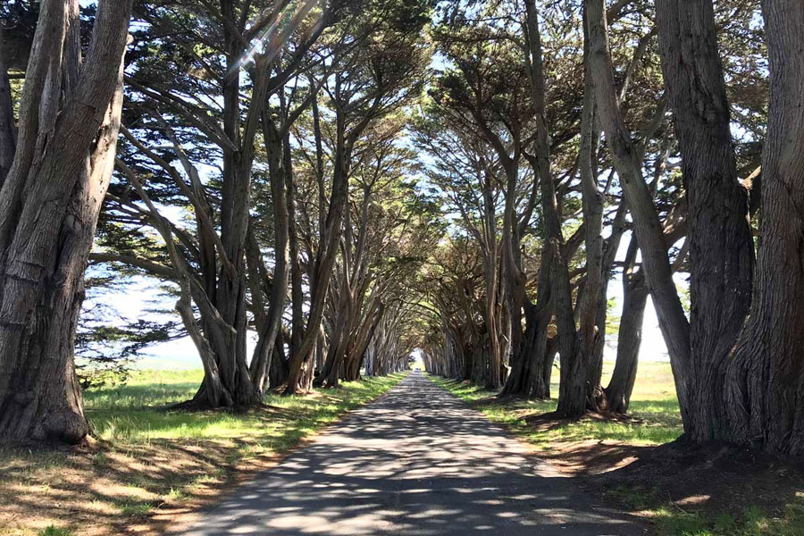 Cypress trees arching over a road in the Marin Headlands