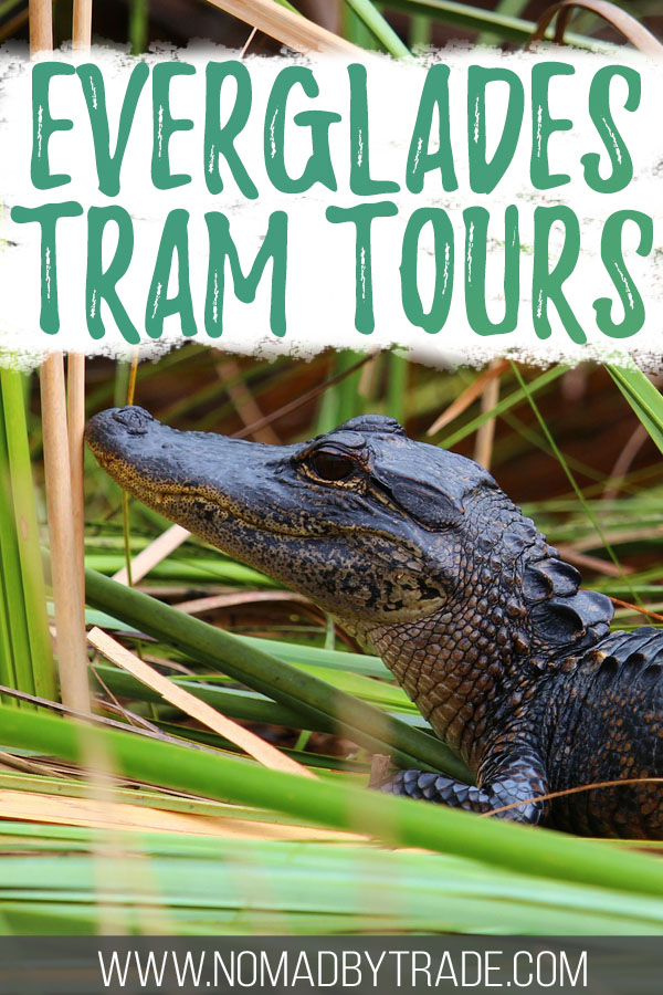 """Photo of an alligator in the Everglades with text overlay reading """"Everglades tram tours"""""""