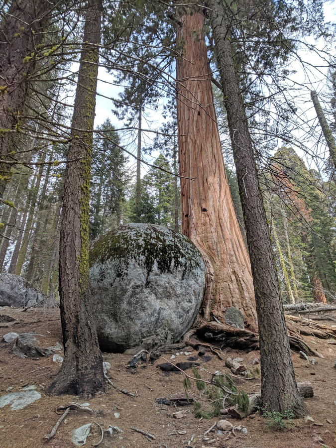 Sequoia tree and boulder in Sequoia National Park