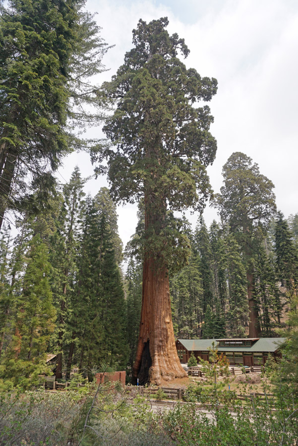 Sentinel Tree in front of the Giant Forest Museum in Sequoia National Park