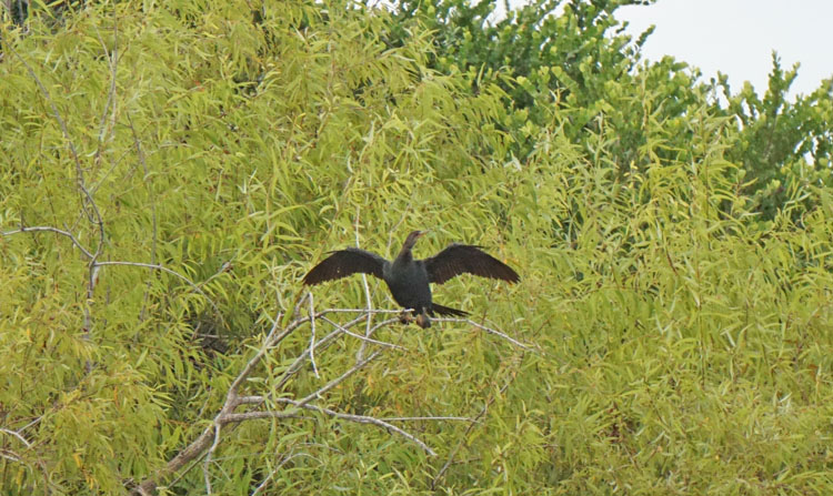 Anhinga flapping its wings at the Shark Valley Visitor Center