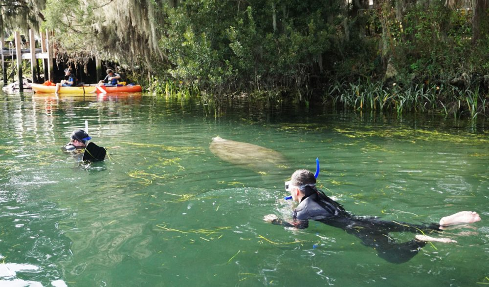 Snorkeler swimming with a manatee in Crystal River, Florida