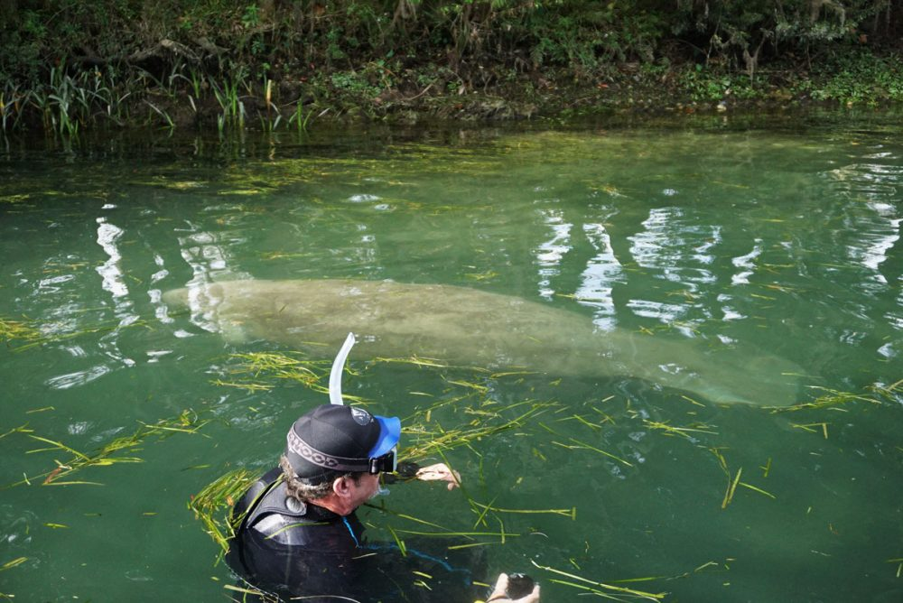 Man swimming with manatees in Florida