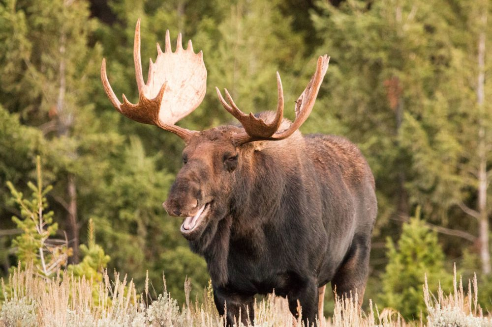 Photo of a bull moose with its mouth partially open for a comical expression