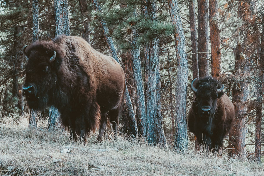 Two buffalo in front of trees in Wind Cave National Park