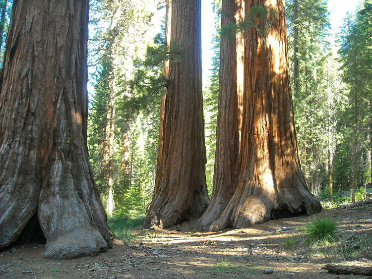 Giant sequoias in the Mariposa Grove in Yosemite National Park